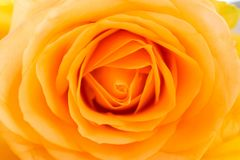 Gele Rose Close-Up Image royalty-vrije stock fotografie
