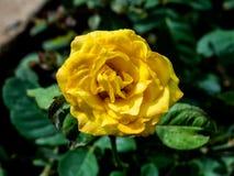 Gele Rose Flower op Installatie - India Stock Foto's