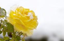 Gele Rose Melting Snow stock afbeelding