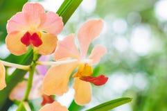 Gele Roze omhoog Gesloten Orchidee Stock Foto