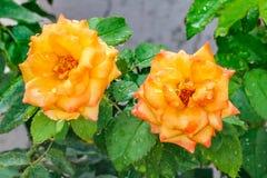 Gele roze rozen die in de tuin bloeien stock afbeelding