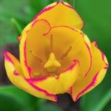 Gele roze tulp flowe stock foto