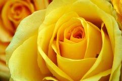 Gele rozen stock afbeelding