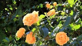 Gele rozen in de Tuin stock footage