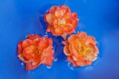 Gele rozen die in blauw water, symmetrische mening drijven stock fotografie