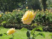 Gele rozen met groene bladeren in de tuin Royalty-vrije Stock Foto