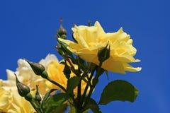 Gele rozen tegen een blauwe hemel Stock Foto's