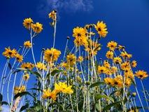 Gele Rudbeckia stock afbeelding