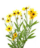 Gele rudbeckia stock foto's