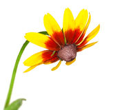 Gele rudbeckia royalty-vrije stock foto's