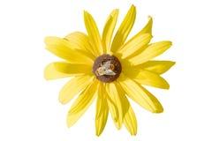 Gele Rudbeckia-bloem met geïsoleerde bij royalty-vrije stock fotografie