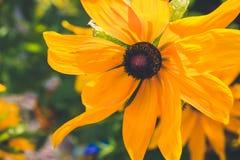 Gele Rudbeckia met bruine centra Ook geroepen Coneflowers, zwart-eyed-Susans, Leuchtender Sonnenhut royalty-vrije stock afbeelding