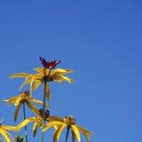 Gele rudbeckiabloemen Stock Afbeeldingen