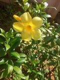 Gele schoonheid Stock Afbeelding
