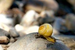 Gele slak die over rotsen op een rivierbank beklimmen Stock Foto