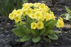Gele sleutelbloem op het tuinbed royalty-vrije stock afbeeldingen