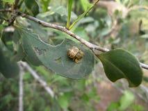 Gele spin met bruine patronen op een blad in Swasiland Royalty-vrije Stock Foto's