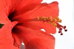 Gele stamens op een rode stamper van Hibiscusbloem stock afbeelding