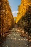 Gele struiken Stock Afbeelding