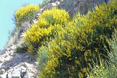 Gele struiken van bloemen het groeien royalty-vrije stock foto's