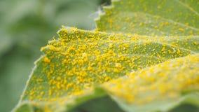 Gele stuifmeelzonnebloem Stock Foto's