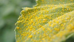 Gele stuifmeelzonnebloem op blad Stock Foto