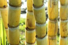 Gele suikerrietbomen Vers suikerriet in de gebiedsclose-up royalty-vrije stock foto's