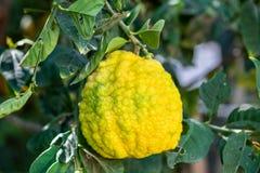 Gele sukade of Citrusvruchtenmedica die door Joodse mensen tijdens de vakantie van Sukkot wordt gebruikt die - bij serre groeien stock foto's