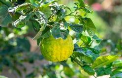 Gele sukade of Citrusvruchtenmedica die door Joodse mensen tijdens de vakantie van Sukkot wordt gebruikt die - bij serre groeien royalty-vrije stock foto's
