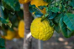 Gele sukade of Citrusvruchtenmedica die door Joodse mensen tijdens de vakantie van Sukkot wordt gebruikt die - bij serre groeien royalty-vrije stock afbeeldingen