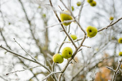 Gelée sur les pommes sauvages Photos stock