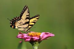 Gele Swallowtail-Vlinder in Bloemtuin royalty-vrije stock fotografie