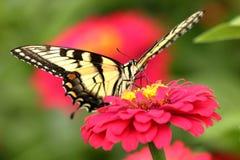 Gele Swallowtail-Vlinder in Bloemtuin stock foto's