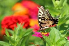 Gele Swallowtail-Vlinder in Bloemtuin stock afbeelding
