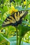 Gele Swallowtail-vlinder die op madeliefje, open vleugels rusten royalty-vrije stock fotografie