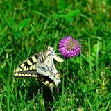 Gele Swallowtail-vlinder op een rooskleurige bloem op groene grasachtergrond Royalty-vrije Stock Foto's