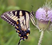 Gele swallowtailvlinder Royalty-vrije Stock Fotografie