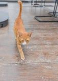 Gele Tabby Cat Walking Royalty-vrije Stock Afbeelding