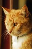 Gele tabby kat in venster Stock Fotografie