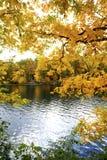 Gele takken van de herfstkader de Farmington-Rivier, Kanton, Co Royalty-vrije Stock Foto's