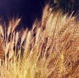Gele tarwe in aard Royalty-vrije Stock Fotografie