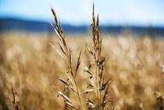 Gele tarwe in de zomer stock foto