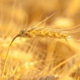 Gele tarwe op een korrelgebied stock afbeelding