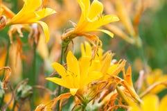 Gele tijgerlelie Stock Foto's