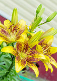 Gele tijgerlelies Royalty-vrije Stock Afbeeldingen
