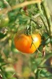 Gele tomaat Royalty-vrije Stock Foto's