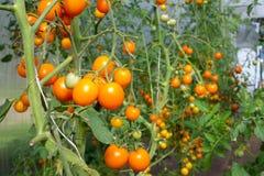 Gele tomaten in de serre Stock Foto