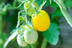 Gele tomaten op tak Stock Afbeeldingen