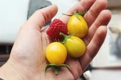 Gele tomaten in palm van hand royalty-vrije stock foto's
