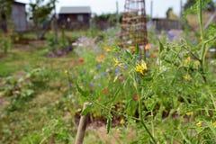Gele tomatenbloemen op een installatie in een toewijzing Stock Foto's